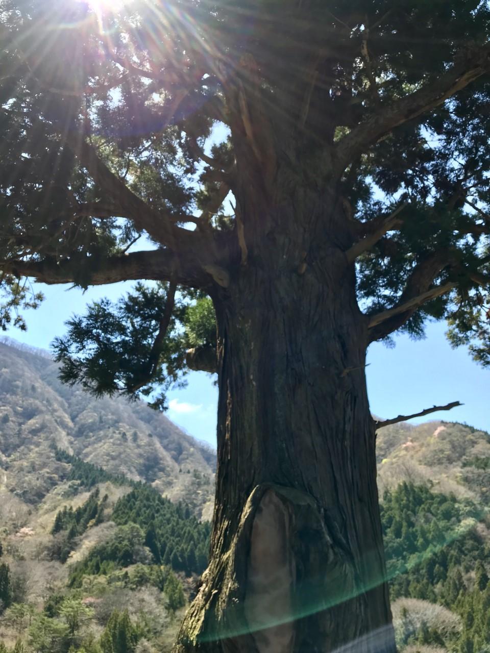 樹齢2000年の箒杉