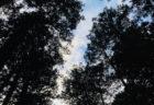北口本宮冨士浅間神社の樹々に会いに