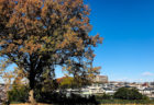 公園のカリンの樹と独りごと